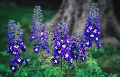 Photograph of delphiniums