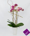 Uptown Orchid