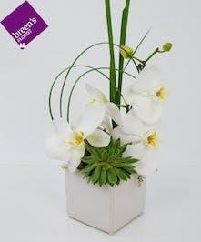 White Orchid & Succulent