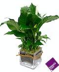 Desktop Spathiphyllum