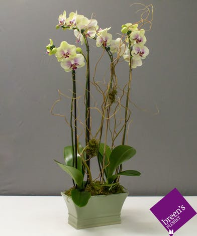 Orchid Abundance : Deliver Flowers In Houston