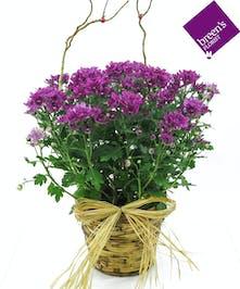 Daisy Mum Plant