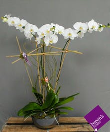 Fairytale Orchids : Breen's Florist Houston 77055