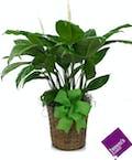 Medium Green Plant