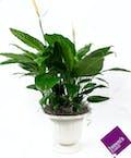 Medium Sympathy Plant