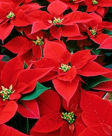 Red Holiday Poinsettia